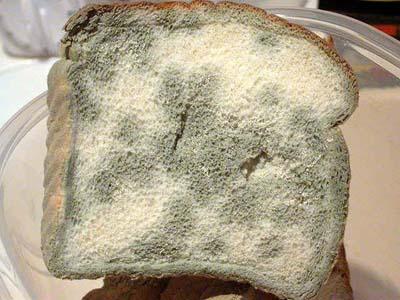 Mốc bánh mỳ giữ bí quyết vô hiệu hóa gen gây bệnh
